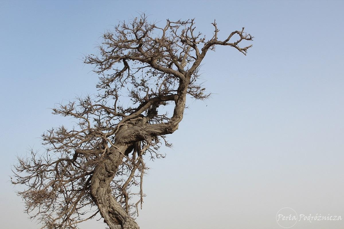 Powykręcane drzewo na wzgórzu z cytadelą